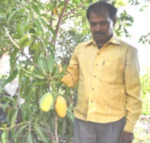 'Evergreen', a special variety of mango that gives fruit throughout the year
